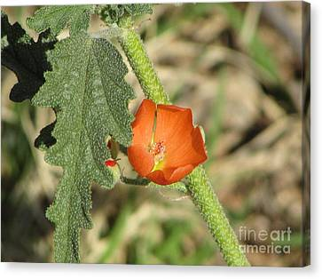 Desert Globemallow Bloom 202 Canvas Print