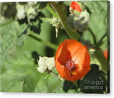 Desert Globemallow Bloom 215 Canvas Print