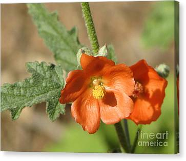 Desert Globemallow Bloom 220 Canvas Print