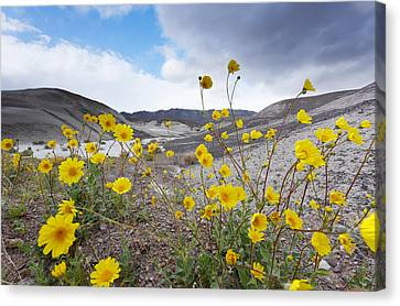 Desert Gold In Death Valley Canvas Print by Dung Ma