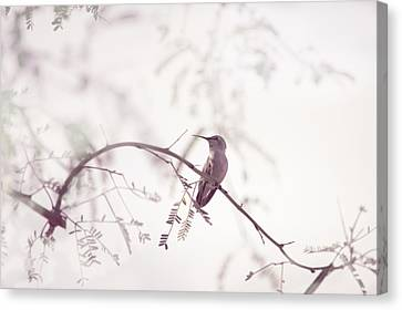 Desert Hummingbird II Canvas Print