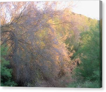 Desert Ironwood Blooming In The Golden Hour Canvas Print