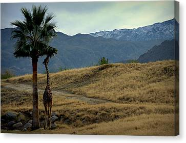 Desert Palm Giraffe 001 Canvas Print by Guy Hoffman