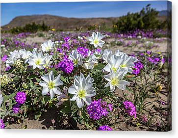 Desert Super Bloom 2017 Canvas Print by Peter Tellone