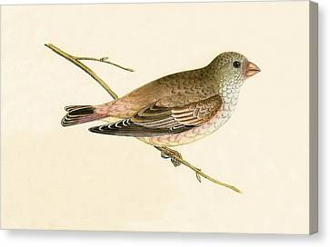 Desert Trumpeter Bullfinch Canvas Print by English School