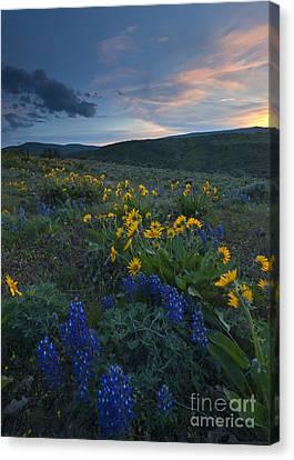 Desert Wildflower Sunset Canvas Print by Mike Dawson