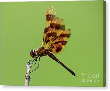Detailed Dragonfly Canvas Print by Cheryl Baxter