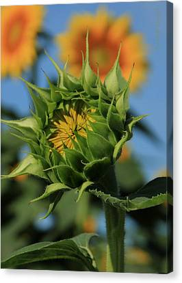Canvas Print featuring the photograph Developing Petals On A Sunflower by Chris Berry