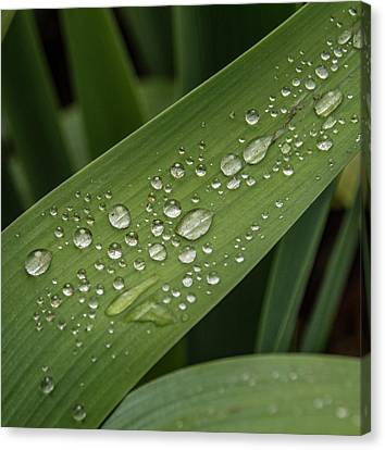 Canvas Print featuring the photograph Dew Drops On Leaf by Jean Noren