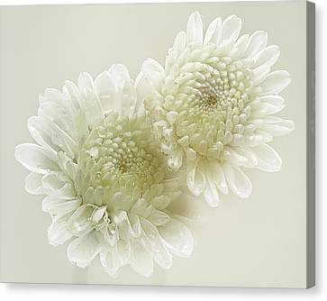 Dew Drops On White Chrisantemus Canvas Print by Flower photography by Viorica Maghetiu