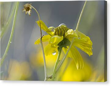 Dew On A Desert Bloom Canvas Print by Sue Cullumber