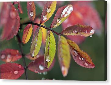 Dew On Wild Rose Leaves In Fall Canvas Print by Darwin Wiggett