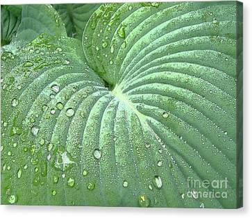 Dewdrops On A Hosta Canvas Print by Addie Hocynec