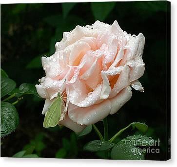 Dewdrops On A Rose Canvas Print by Addie Hocynec