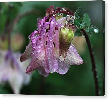 Canvas Print featuring the photograph Dewey Morning Columbine by Susan Capuano