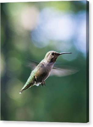 Hummingbird In Flight 3 Canvas Print