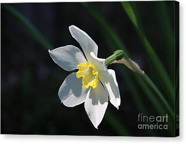 Diana's Daffodil Canvas Print by Marilyn Carlyle Greiner
