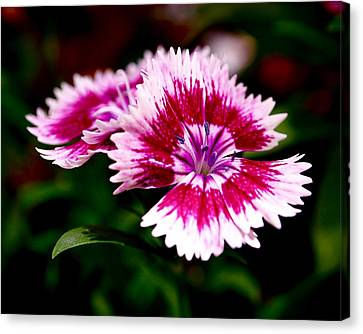 Dianthus Canvas Print by Rona Black