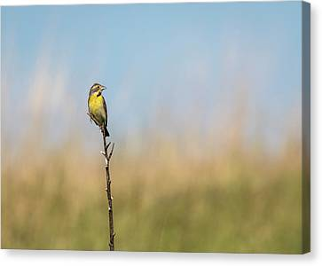 Dickcissel 2017-1 Canvas Print by Thomas Young