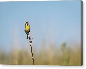 Dickcissel 2017-2 Canvas Print by Thomas Young