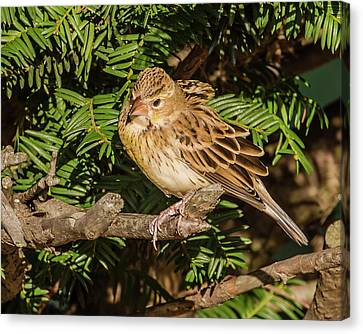 Dickcissel On A Branch Canvas Print