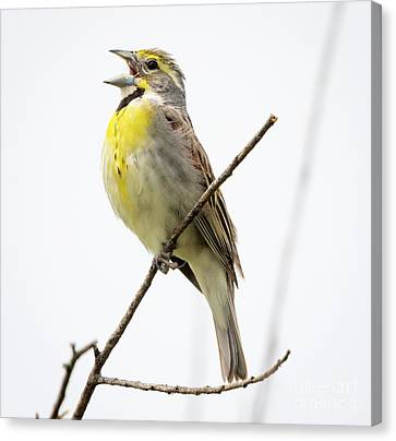 Canvas Print featuring the photograph Dickcissel  by Ricky L Jones