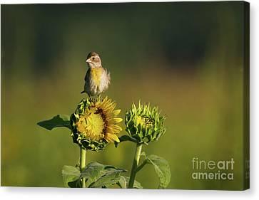 Dickcissel Sunflower Canvas Print