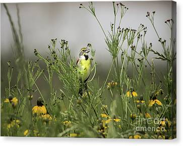 Dickcissel With Mexican Hat Canvas Print by Robert Frederick