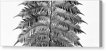 Tree Fern Canvas Print - Dicksonia Antarctica Frond Panoramic by Tim Gainey