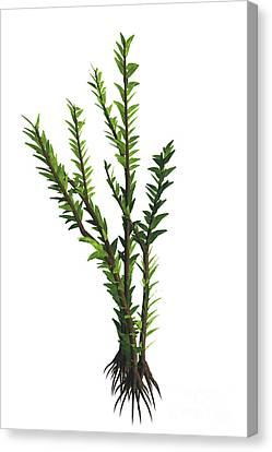 Dicroidium Sp Plant Canvas Print