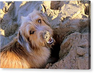 Digging For Crabs Canvas Print
