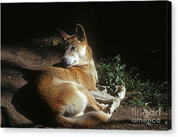 Dingo - Australia Canvas Print by Phil Banks