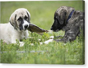 Dinner For Two Canvas Print by Juli Scalzi