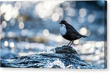 Dipper On Ice Canvas Print by Torbjorn Swenelius
