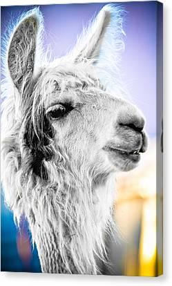 Dirtbag Llama Canvas Print by TC Morgan