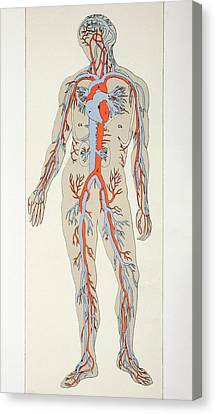 Distribution Of Blood Vessels In The Canvas Print