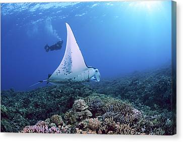 Diver And Ray Canvas Print by Dave Fleetham - Printscapes