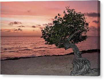 Divi Divi Aruba Canvas Print