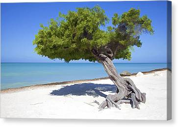 Divi Tree Of Aruba Canvas Print by David Letts
