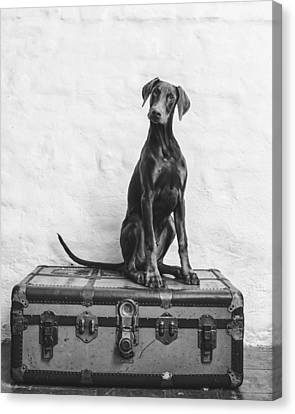 Doberman Pinscher Puppy In Black And White Canvas Print by Wolf Shadow  Photography