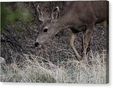 Doe Carefully Grazing In Tombstone Canvas Print by Colleen Cornelius