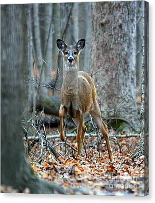 Doe On The Move Canvas Print by Steve Gass