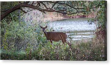 Canvas Print featuring the photograph Doe Under Arching Branches by Chris Bordeleau