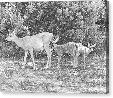 Doe With Twins Pencil Rendering Canvas Print by Frank Wilson