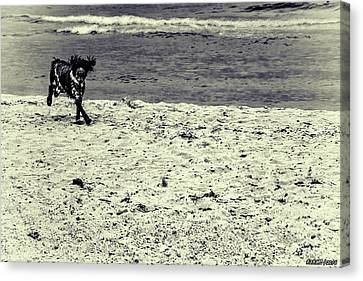Dog Frolicking On A Beach Canvas Print by Ken Morris