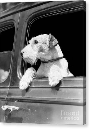 Dog Looking Out Of Car Window Canvas Print by H. Armstrong Roberts/ClassicStock