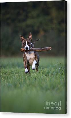 Dog At Play Canvas Print - Dog Playing With Stick by Jean-Louis Klein and Marie-Luce Hubert