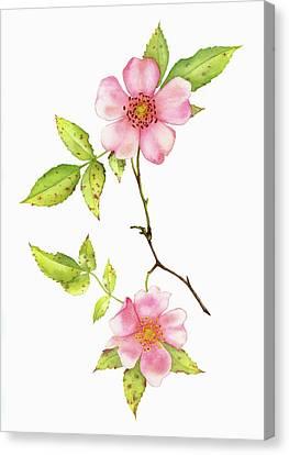 Dog Rose Watercolor Canvas Print by Taylan Apukovska