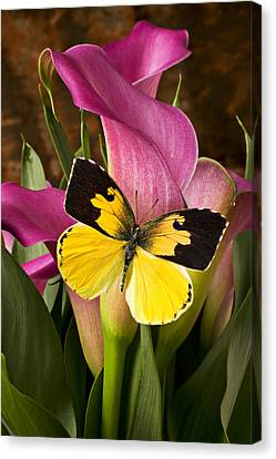 Dogface Butterfly On Pink Calla Lily  Canvas Print