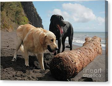 Dogs Playing At The Beach Canvas Print by Gaspar Avila